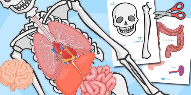 Skeleton and Organs Cut and Stick Activity - australia, skeleton