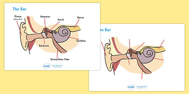 Ear Worksheets - ear, biology, worksheet, how does the ear work, hammer, anvil, nerve, pinna, cochlea, eardrum, activity, sheet