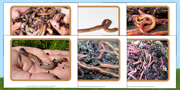 Worms and Wormeries Photo Pack - EYFS, Early Years, minibeasts, creepy crawlies, garden, understanding the World, earthworm