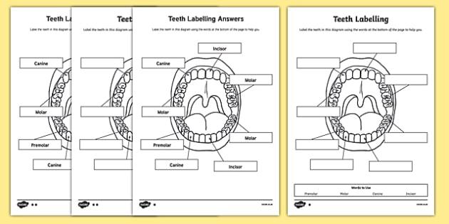 Teeth Labelling Worksheet - teeth, ourselves, my body, labels