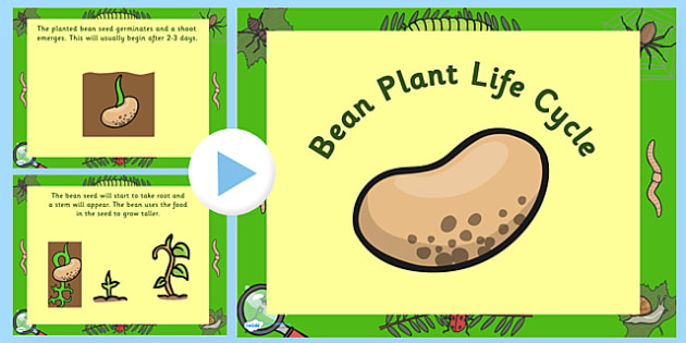 Bean Life Cycle PowerPoint - bean life cycle, bean life cycle powerpoint, bean powerpoint, life cycle of a bean powerpoint, life cycles, beans