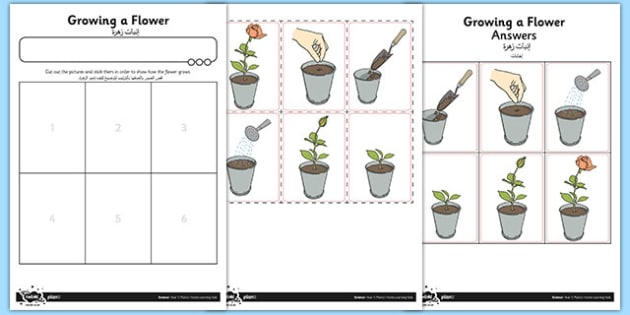 Activity Sheet Growing a Flower Arabic Translation - arabic, activity sheet, growing, flower, worksheet