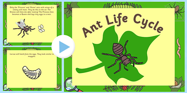 Ant Life Cycle PowerPoint - life cycle, life cycle of an ant, minibeast life cycle, life cycle powerpoint, life cycle video, ant powerpoint, minibeasts