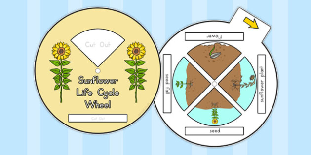 Sunflower Life Cycle Spin Wheel - australia, sunflower, wheel