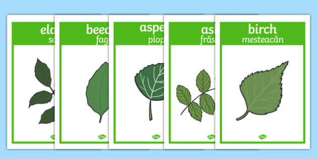 Tree Leaf Identification Display Posters Romanian Translation - romanian, woodland, leaf, tree leaf, trees, leaves, identification, matching, activity, display, poster, sign