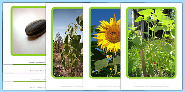 Life Cycle of a Sunflower Display Photos - Bean, growth, plant, life cycle, lifecycle, display, photo, display Photos, display, photos, banner, poster, plant growth, beans, garden, Topic, Foundation stage, knowledge and understanding of the world, in