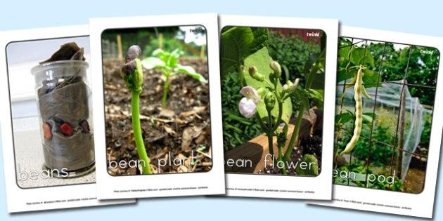 Life Cycle of a Bean Display Photo Pack - australia, life cycle