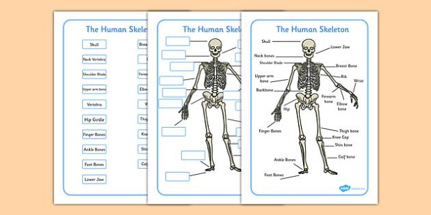 Human Skeleton Labelling Sheets (Common Names) - human skeleton labelling sheets, bones of the body, bones, body, human body, human skeleton, skeleton, labelling, sheets, worksheet, skull, hands, ribs, kneecap