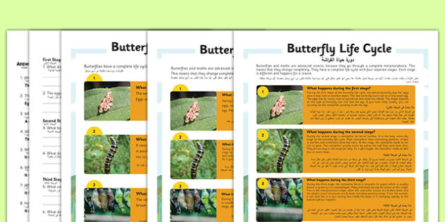 Butterfly Life Cycle Differentiated Reading Comprehension Activity Arabic Translation - arabic, KS1 reading, year 2, y2, comprehension, questions, butterfly, butterflies, life cycle