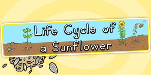 Life Cycle of a Sunflower Display Banner - Australia, Life, Cycle