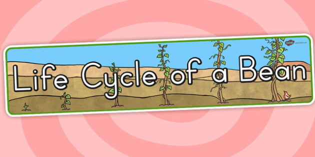 Life Cycle of a Bean Display Banner - lifecycles, cycles, header