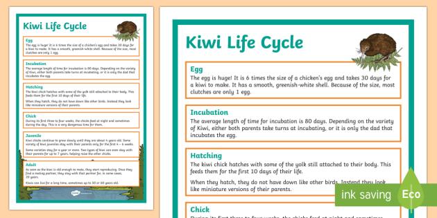 Kiwi Life Cycle Display Poster