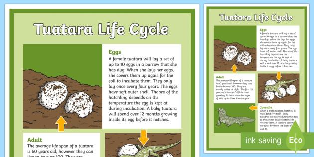 Tuatara Life Cycle Display Poster - Life CycleNew ZealandNew Zealand native animalsendangered animalsoldest amphibiansTuataraconservatio