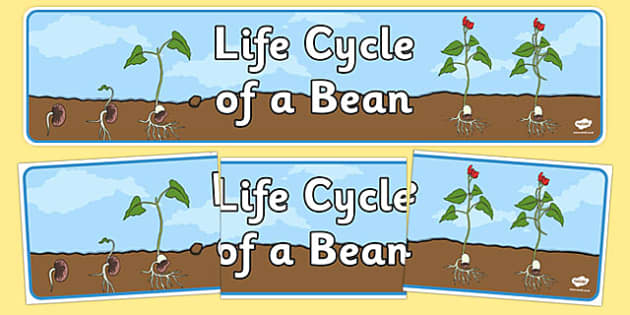 Life Cycle of a Bean Display Banner - Bean, growth, plant, life cycle, lifecycle, display, banner, poster, plant growth, beans, garden, Topic, Foundation stage, knowledge and understanding of the world, investigation