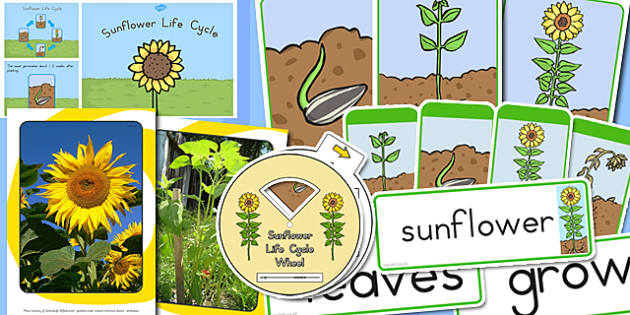 Sunflower Life Resource Pack - australia, sunflower, life cycle