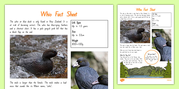 New Zealand Native Birds Whio Fact Sheet - nz, new zealand, Native, birds, animals