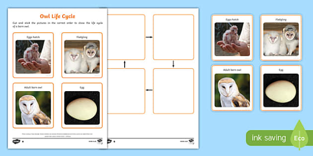 Barn Owl Life Cycle Differentiated Activity Sheet Pack-Scottish, worksheet