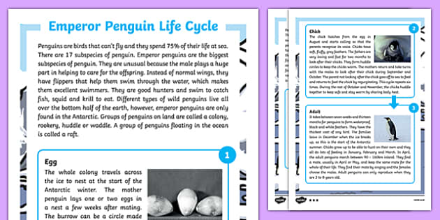 Emperor Penguin Life Cycle Differentiated Fact File