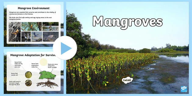 The Mangroves PowerPoint - Science, Living World, adaptation, plants, UAE, mangroves, humans, animals.