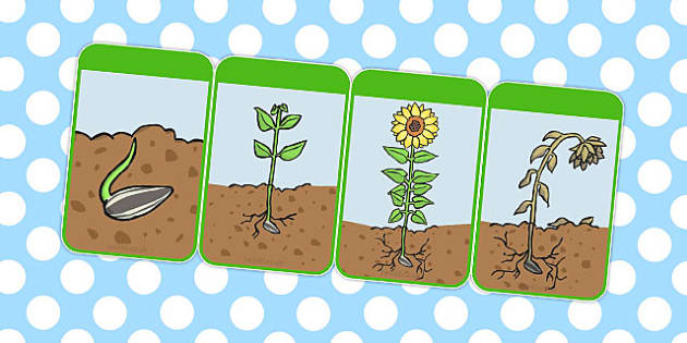 Sunflower Life Cycle Flashcards - australia, sunflower, lifecycle