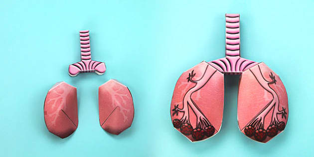 3D Lungs Paper Model Activity - 3d, lungs, paper model, model