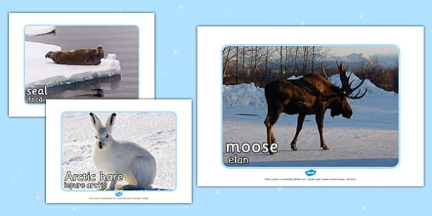 Arctic Animal Display Photos Romanian Translation - romanian, arctic, animal, display, photos, display photos