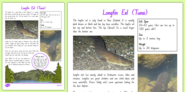 New Zealand Native Eels Fact File - nz, New Zealand, animals, native, factfile, eels