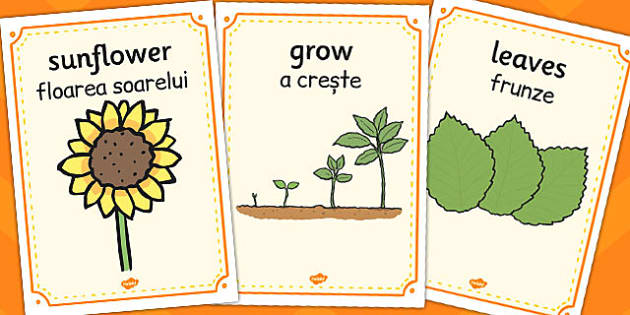 Sunflower Life Cycle Display Posters Romanian Translation - eal