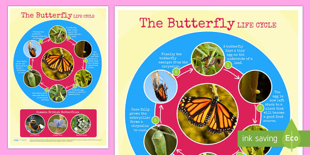 Butterfly Life Cycle Photo Display Poster - minibeasts, lifecycle