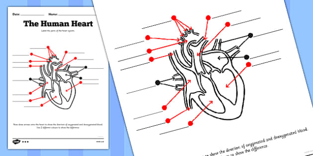 The Human Heart Labelling Worksheet - human heart, labelling, worksheet