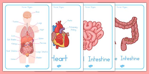 Human Body Organs Display Posters - australia, organs, display