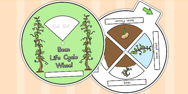 Bean Life Cycle Spin Wheel - life cycles, visual aids, lifecycle