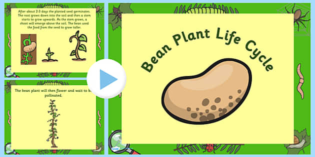 Australia Bean Life Cycle PowerPoint - australia, bean, cycle