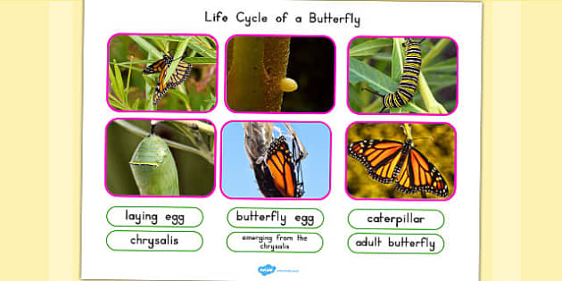 Life Cycle of a Butterfly Photo Cut Out Pack - lifecycle, photos