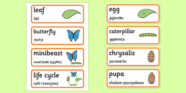 Life Cycle of a Butterfly Word Cards Polish Translation - polish, life cycle, butterfly, word cards
