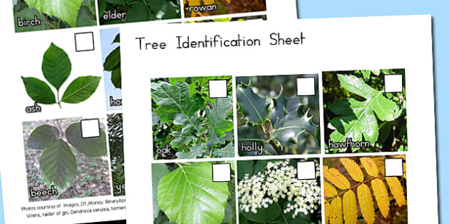 Tree Identification Photo Sheet - australia, tree, identification