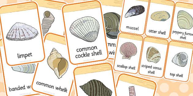 British Seashell Flashcards - british, seashell, flashcards