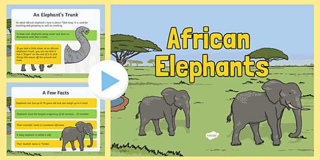 Safari African Elephant Information PowerPoint - safari, on safari, safari powerpoint, african elephants, african elephant powerpoint, elephant powerpoint