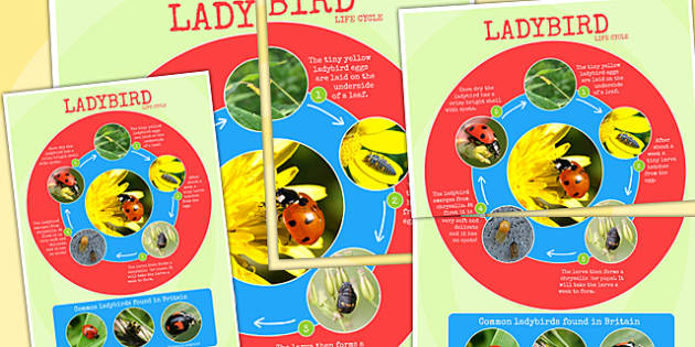 Ladybird Life Cycle Photo Large Display Poster - minibeasts, bugs