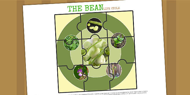 Life Cycle of a Bean Jigsaw - life cycles, cutouts, games, game