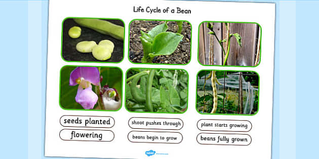 Life Cycle of a Bean Photo Cut Out Pack - life cycles, cutouts
