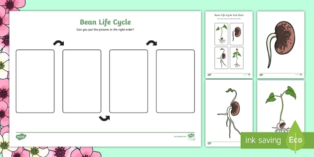 Bean growth posters - bean, growth, posters, display posters