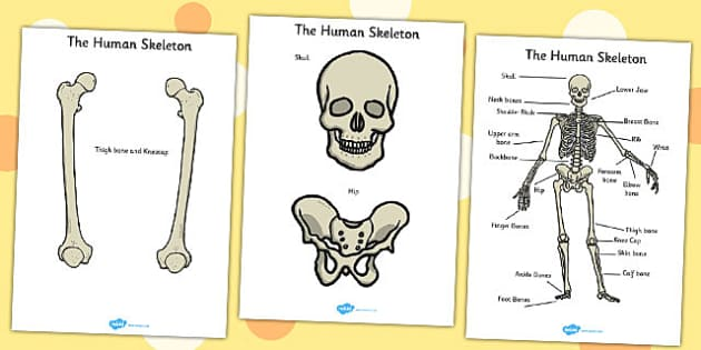 Human Skeleton Cut Outs (Common Names) - my body, body, skeleton, cut out, cut outs, bones, ourselves, all about me, emotions, feelings