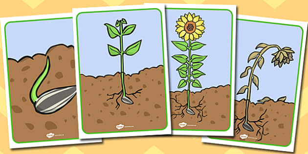 Sunflower Life Cycle Display Posters - australia, sunflower