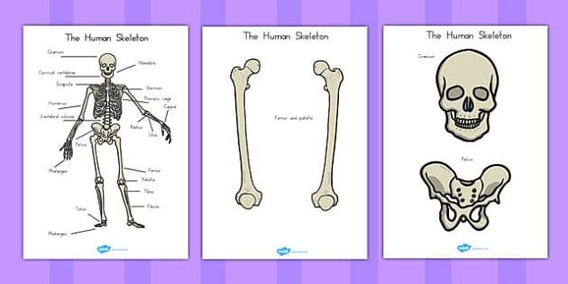 Human Skeleton Cut Outs Scientific Names - australia, human, skeleton