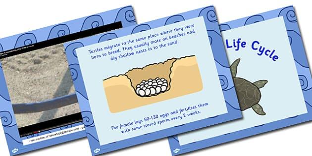 Australia Sea Turtle Life Cycle PowerPoint - australia, turtle