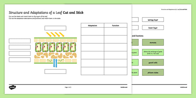 Structure and Function of a Leaf Cut and Stick Activity Sheet, worksheet