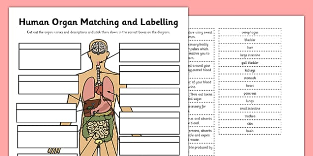 Human Organ Matching and Labelling Activity - human organ, matching, labelling, activity