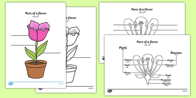 Parts of a Plant and Flower Labelling Worksheet Arabic – Plant Worksheet