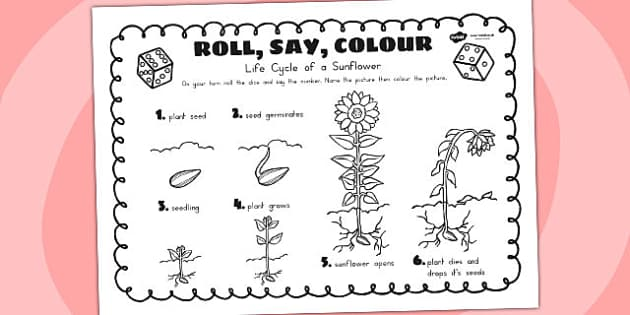 Life Cycle Of A Sunflower Roll Say Colour - lifecycles, games